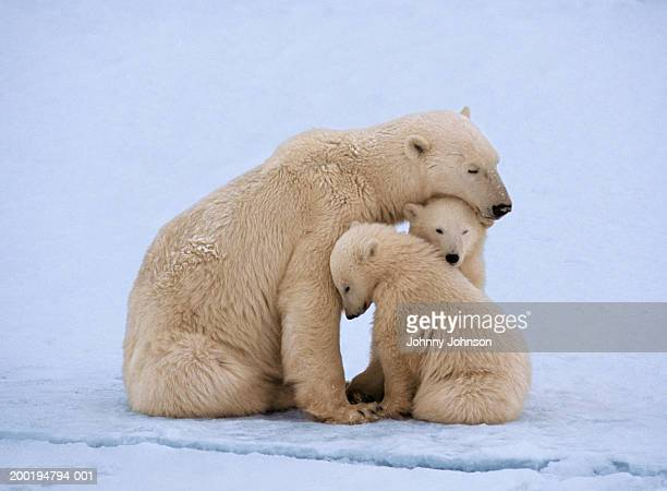 Polar bear with twin cubs (Ursus maritimus)