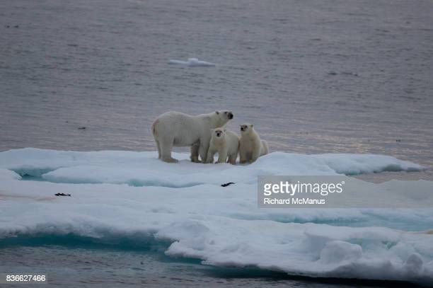 polar bear with two cubs on sea ice - baffin island stock pictures, royalty-free photos & images
