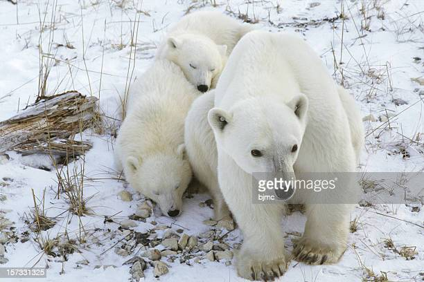 Polar Bear mit zwei Schlaf- Cubs in Churchill, Manitoba