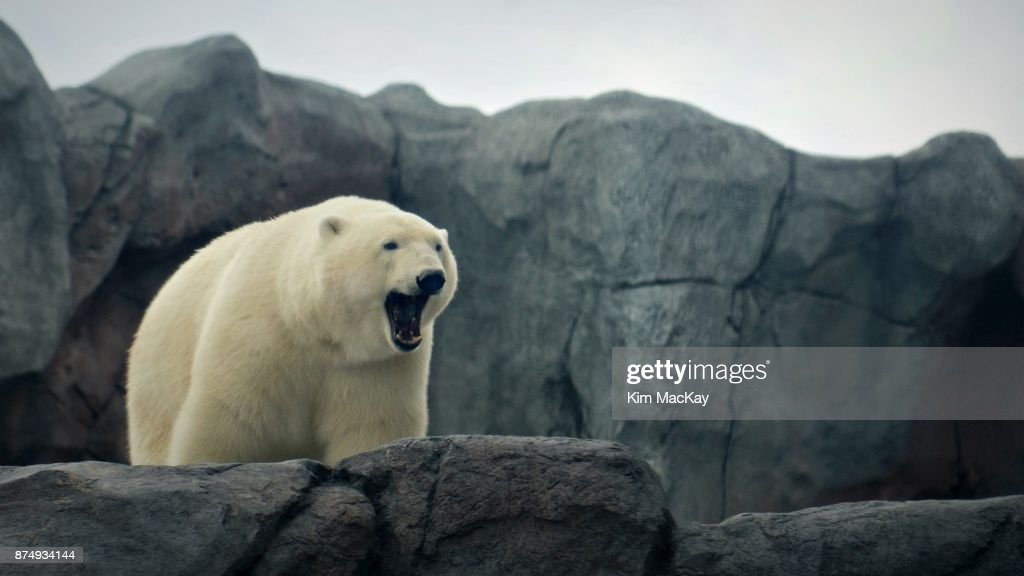 Polar bear yawning, looking over rocky ledge : Stock Photo
