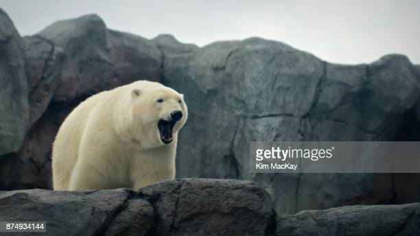 polar bear yawning, looking over rocky ledge - あくび ストックフォトと画像