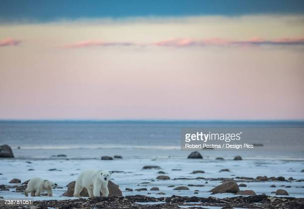 polar bears along the coast of hudson bay waiting for the bay to freeze over, manitoba, canada - hudson bay 個照片及圖片檔