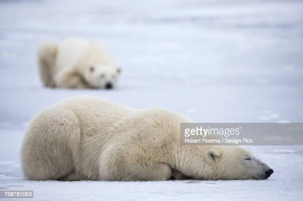 Polar bears along the coast of Hudson Bay waiting for the bay to freeze over, Manitoba, Canada