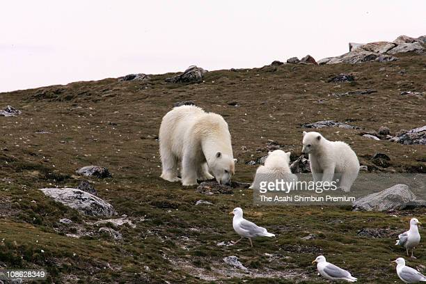 Polar bears are seen on an island on July 2, 2006 in Svalbard, Norway.