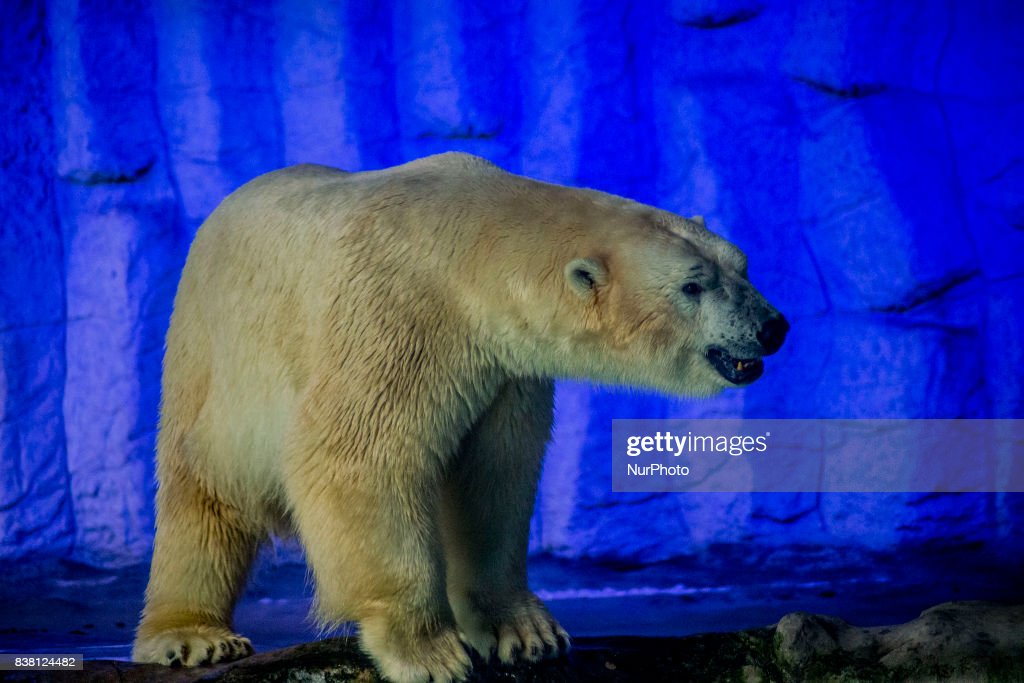 Polar bears Aurora and Peregrino live in the São Paulo Aquarium in Ipiranga, South Zone of the capital on 23 August 2017. Born in cold Russia, mammals are the first of its kind in the country. Despite the climatic difference between their homeland and Brazil, the bears, who together weigh 730 kg, had no problem adapting to their new home. They are located in an area of 1,500 square meters and with a temperature between -15 ° C and -5 ° C. The couple lived in a zoo in the Russian city of Kazan but, according to experts, the space was not large enough for their proper development.