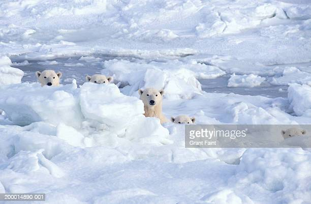 polar bears behind ice (digital composite) - manitoba stock pictures, royalty-free photos & images
