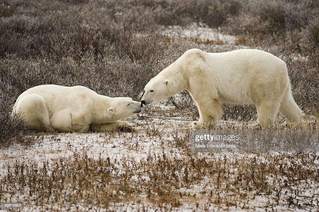 Polar Bears, Cape Churchill, Canada : Foto de stock