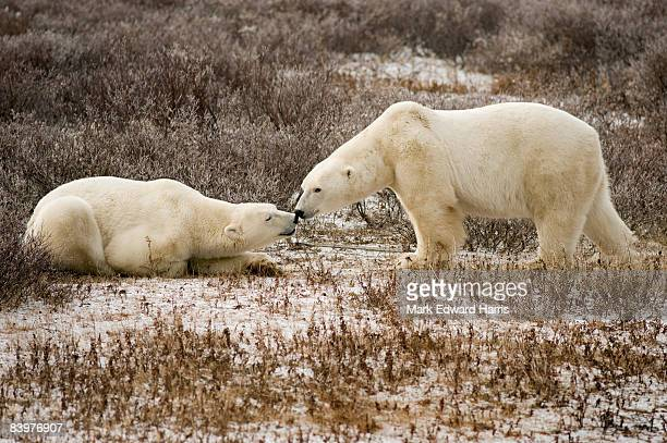 polar bears, cape churchill, canada - hudson bay stock photos and pictures