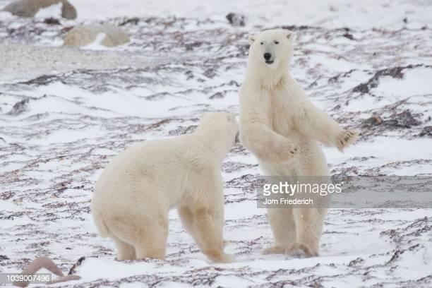 polar bears (ursus maritimus), churchill, manitoba, canada - dancing bear immagine foto e immagini stock