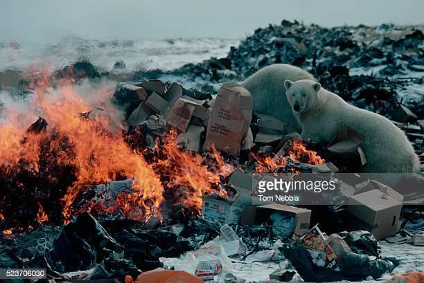 polar bears digging in garbage dump - garbage dump stock pictures, royalty-free photos & images
