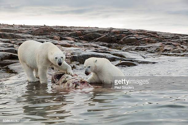 polar bears feeding, hudson bay, nunavut, canada - narwhal stock photos and pictures