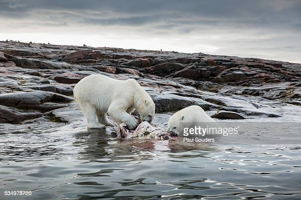 polar bears feeding on harbour islands, hudson bay, nunavut, canada - narwhal stock photos and pictures