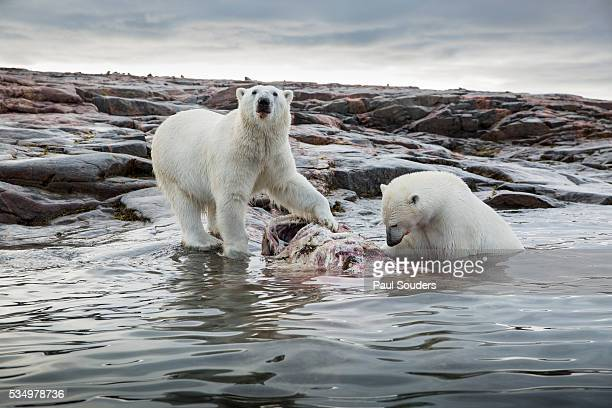 Polar Bears Feeding on Harbour Islands, Hudson Bay, Nunavut, Canada