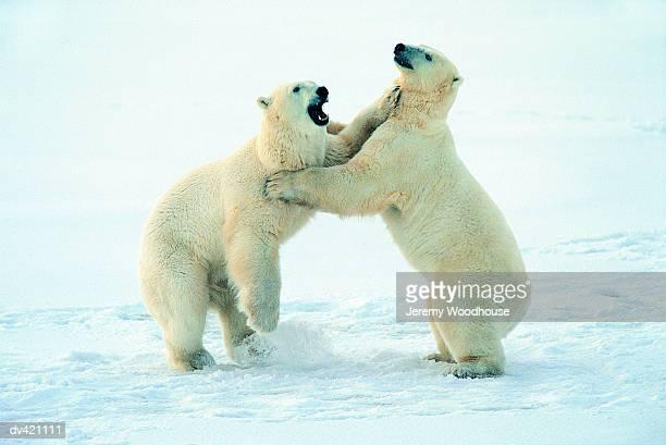Polar Bears fighting (Ursus maritmus), Churchill, Manitoba, Canada