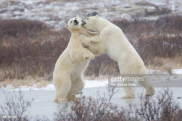 polar bears (ursus maritimus) fighting in snowy scrubland, churchill, manitoba, canada - big arse stock pictures, royalty-free photos & images