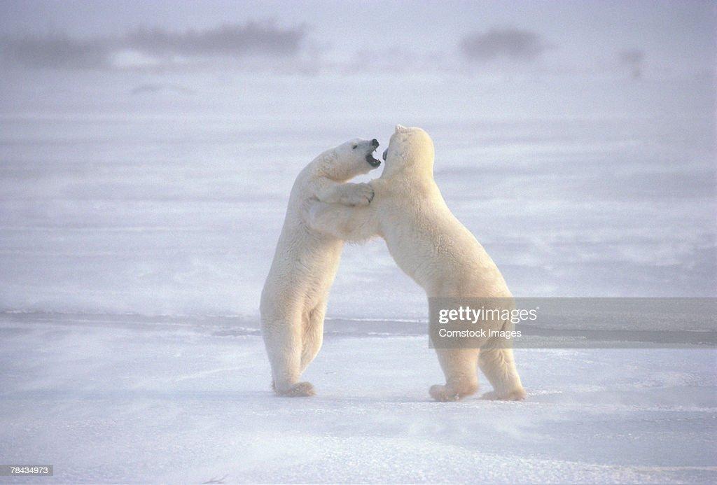 Polar bears fighting upright : Stockfoto