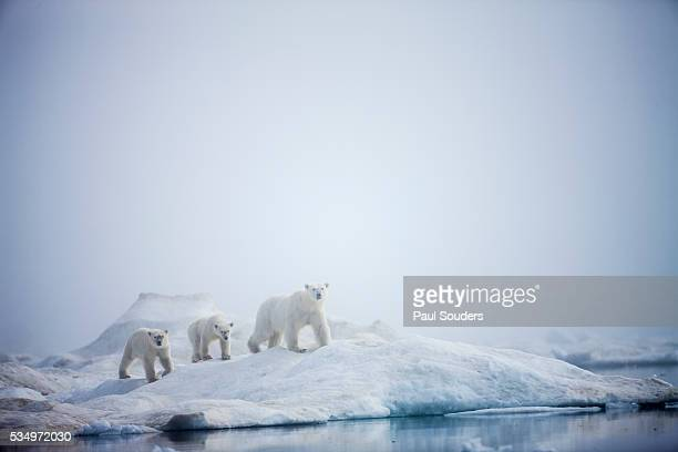 polar bears in fog, hudson bay, nunavut, canada - pack ice stock pictures, royalty-free photos & images
