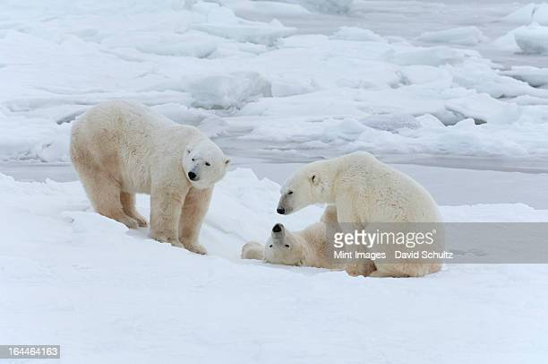 polar bears in the wild. a powerful predator and a vulnerable  or potentially endangered species. - manitoba stock pictures, royalty-free photos & images