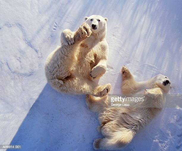 polar bears (ursus maritimus) lying on backs, manitoba, canada - polar bear stock pictures, royalty-free photos & images