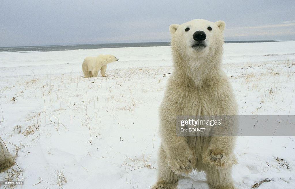 Polar bears of Churchill in Churchill city, Canada in November , 1985.
