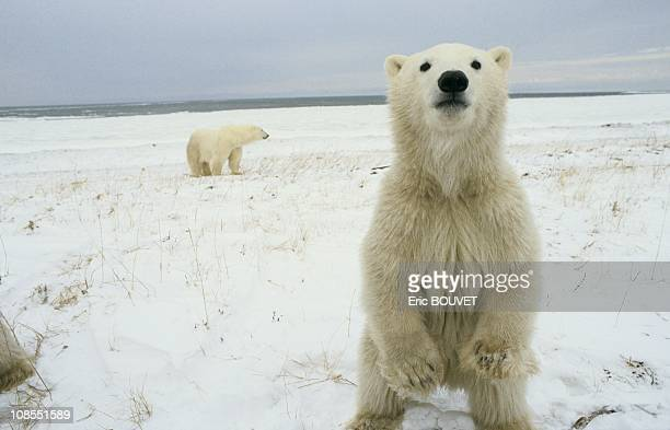 Polar bears of Churchill in Churchill city Canada in November 1985