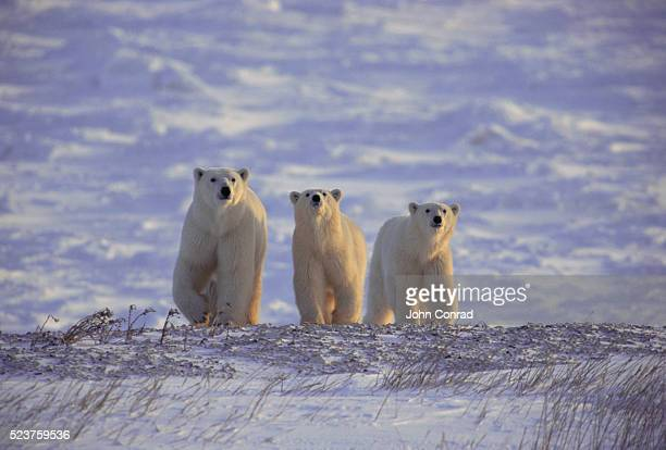 polar bears on the tundra - tundra stock pictures, royalty-free photos & images