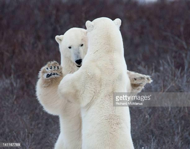 polar bears - dancing bear immagine foto e immagini stock