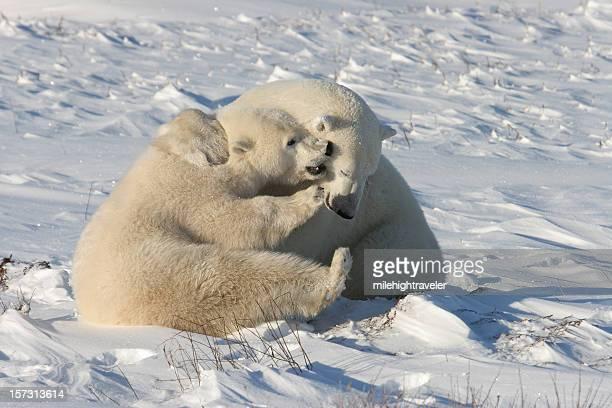 Polar bears play fight on snow near Hudson Bay