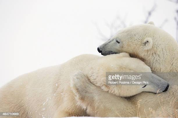 Polar Bears (Ursus Maritimus) Play Fighting Along The Shores Of Hudson's Bay