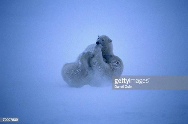 Polar bears (Ursus maritimus)play fighting on frozen lake bed