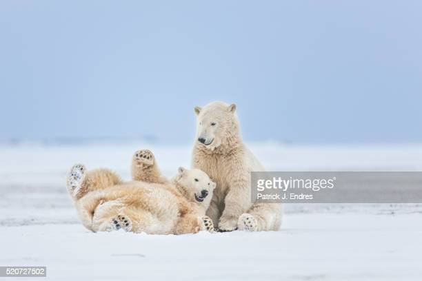 polar bears play fighting - young animal stock pictures, royalty-free photos & images