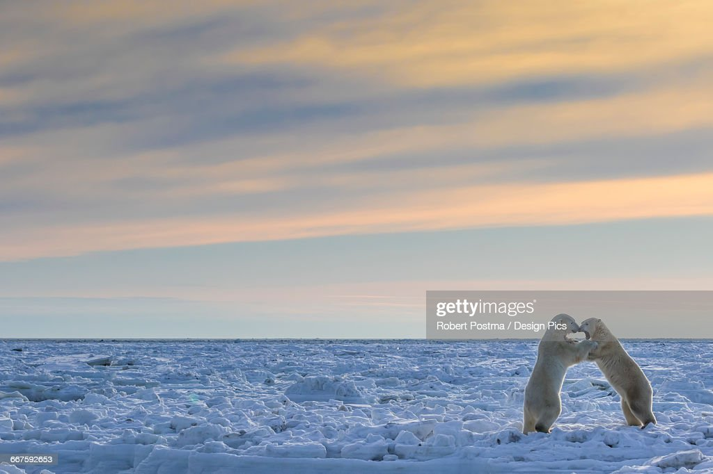 Polar bears (ursus maritimus) sparring on the coast of Hudson Bay : Stock Photo