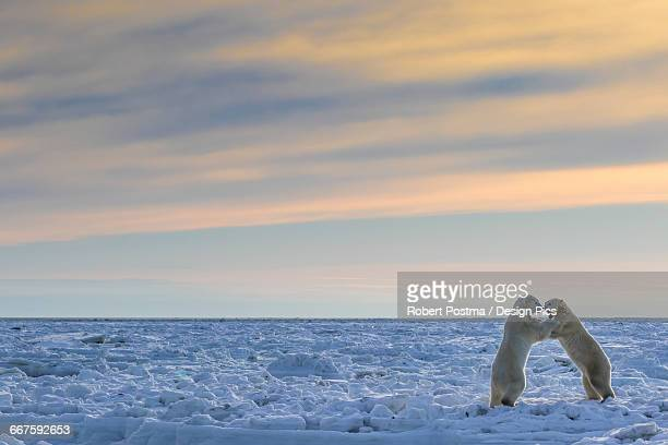 polar bears (ursus maritimus) sparring on the coast of hudson bay - hudson bay stock photos and pictures