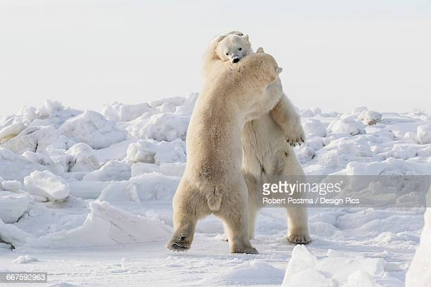 Polar bears (ursus maritimus) sparring on the coast of Hudson Bay