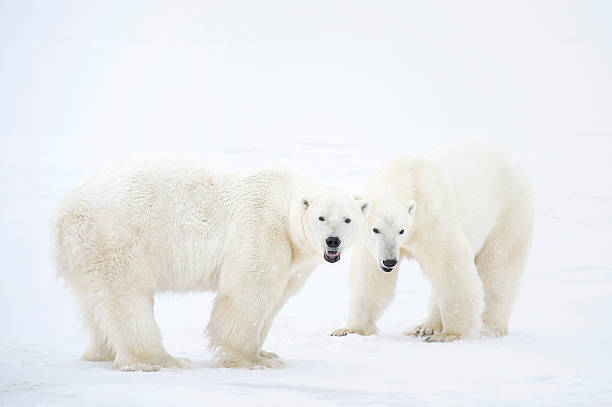 Polar Bears Standing On Snow After Playing. Wall Art