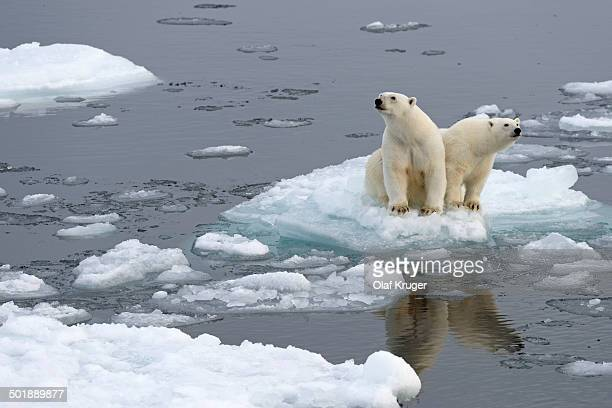 Polar Bears -Ursus maritimus-, female and juvenile on an ice floe in the pack ice, Spitsbergen Island, Svalbard Archipeligo, Svalbard and Jan Mayen, Norway