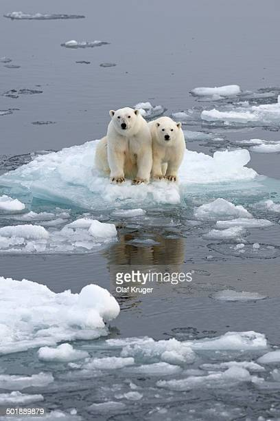 Polar Bears -Ursus maritimus-, female and juvenile on an ice floe in the pack ice, Spitsbergen Island, Svalbard Archipeligo, Svalbard and Jan Mayen, Norway