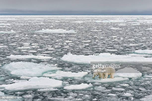 Polar Bears -Ursus maritimus-, female and young, on pack ice, Spitsbergen, Svalbard archipelago, Svalbard and Jan Mayen, Norway