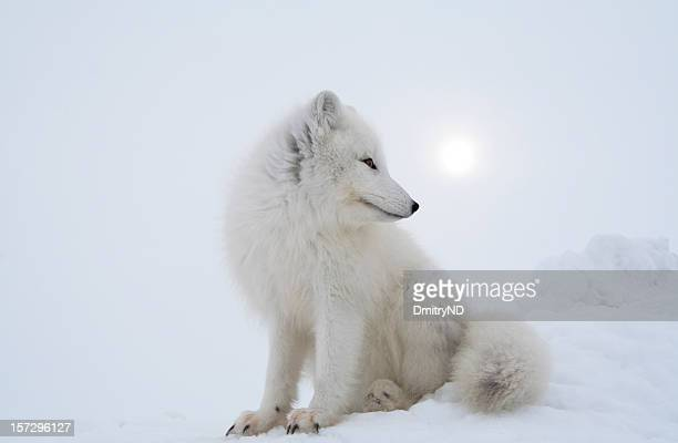 Polar fox in overcast day.