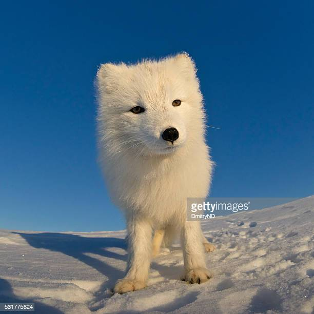 polar fox looking at the camera. - arctic fox stock pictures, royalty-free photos & images