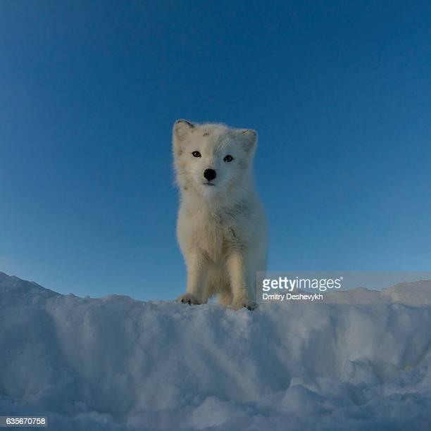 Polar Fuchs schaut an der Kamera.