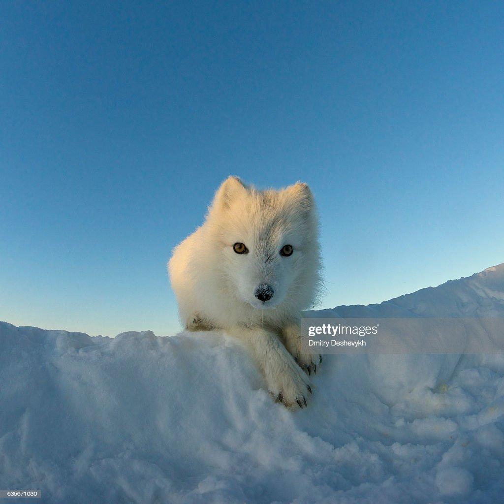 Polar Fuchs schaut an der Kamera. : Stock-Foto