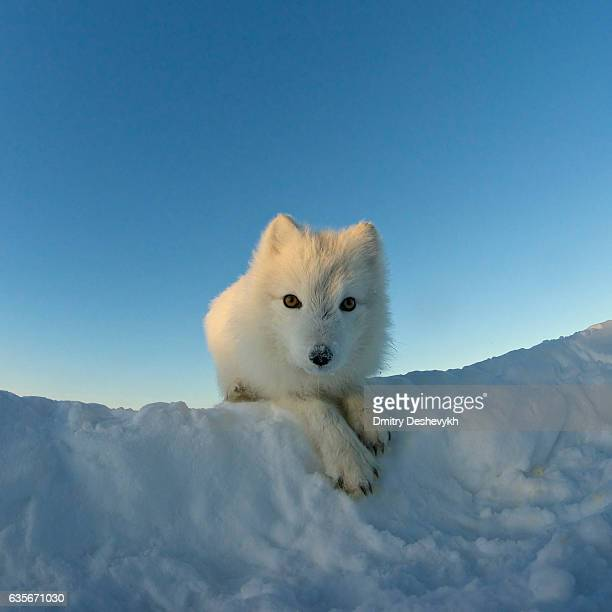 Arctic Fox Stock Photos And Pictures Getty Images