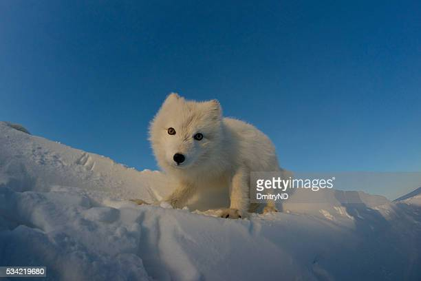 Polar fox looking for prey in the snowy tundra.