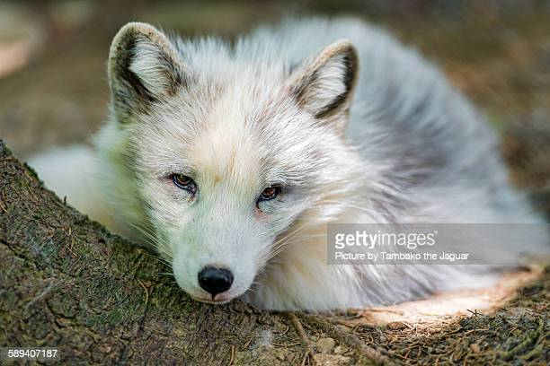 Polar fox on the branch
