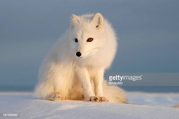 polar fox. - arctic fox stock pictures, royalty-free photos & images