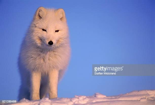 polar fox - nunavut stock pictures, royalty-free photos & images