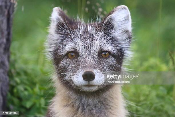 polar fox - arctic fox stock pictures, royalty-free photos & images