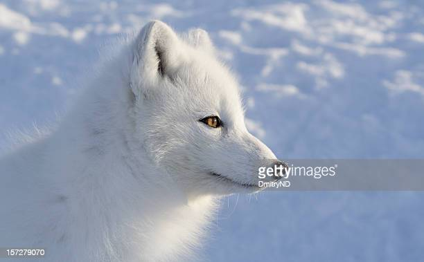 Polar fox. Sideview.