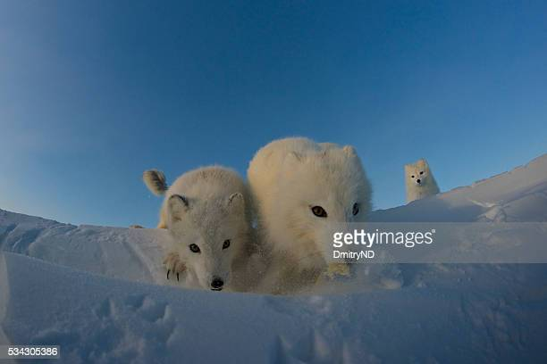 Polar foxes looking for prey in the snowy tundra.
